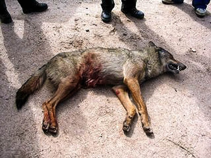 Wolf hunting Spain-14526.jpg - European Wilderness Society - CC NonCommercial-NoDerivates 4.0 International