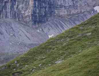 Sheepherding Switzerland © Ch-Wolf - © All rights reserved