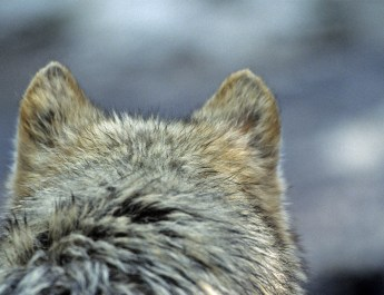 Calanda Wolf Documentary © Peter A Dettling All rights reserved