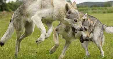 Wolfdog © crazywidow.info