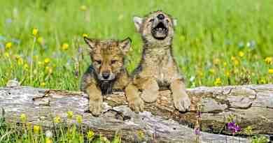 babywolfcubs1.jpg - © European Wilderness Society CC BY-NC-ND 4.0