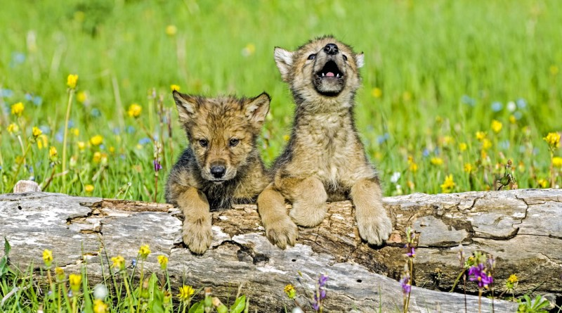 babywolfcubs1.jpg - © European Wilderness Society CC BY-NC-ND 4.0