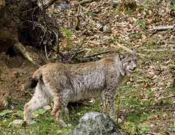 lynx_innature_iStock_BostjanT_000006190805.jpg - © European Wilderness Society CC BY-NC-ND 4.0