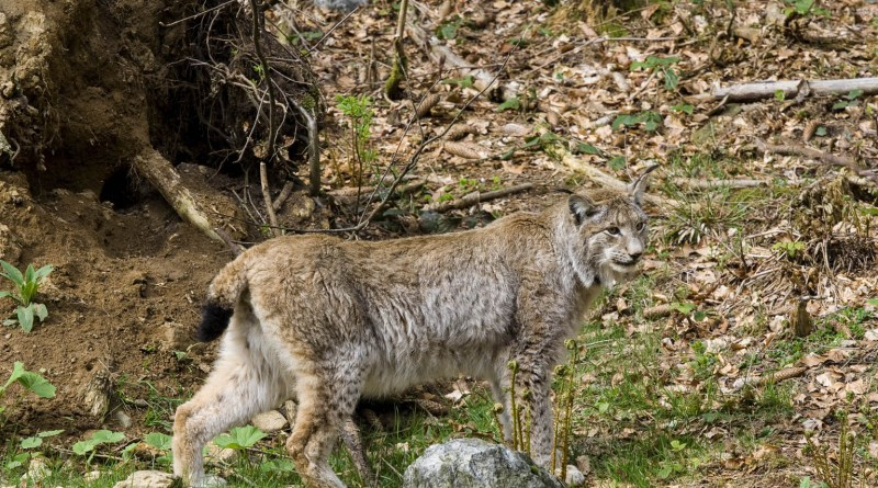 lynx_innature_iStock_BostjanT_000006190805.jpg - © European Wilderness Society CC BY-NC-ND 4.0