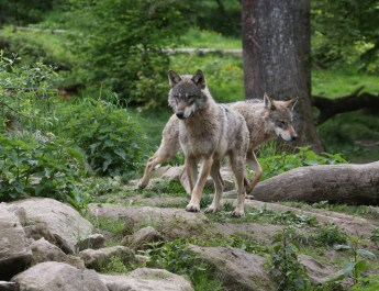Wolves Switzerland © CH Wolf - © All rights reserved