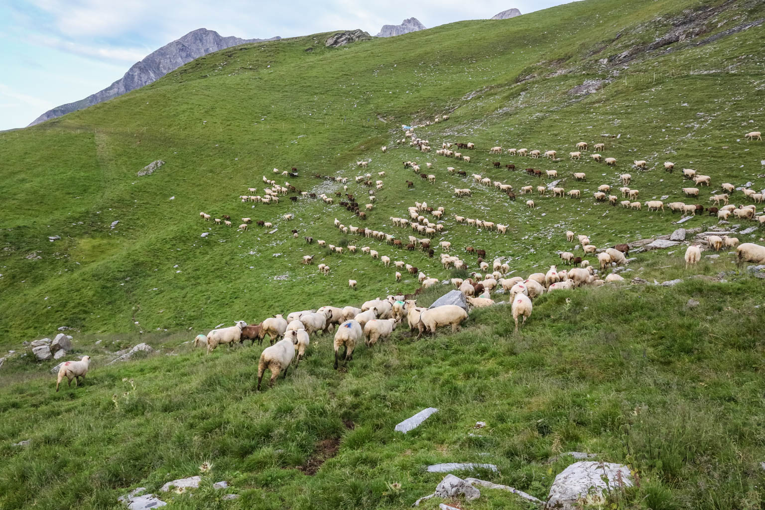 Sheepherding Switzerland