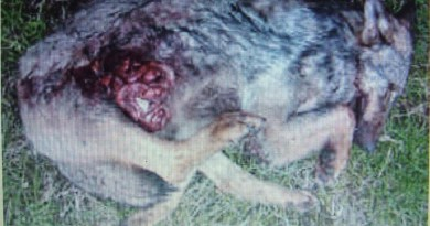 Wolf hunting Spain-14524.JPG - © CC BY-NC-ND 4.0