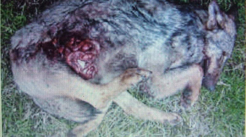 Wolf hunting Spain-14524.JPG - © CC BY-NC-ND 4.0
