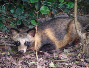 Racoon Dog by Prue Simmons [CC BY 2.0)-23321.jpg - European Wilderness Society  - CC NonCommercial-NoDerivates 4.0 International