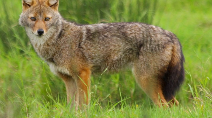 golden jackal-26104.jpg - European Wilderness Society - CC NonCommercial-NoDerivates 4.0 International