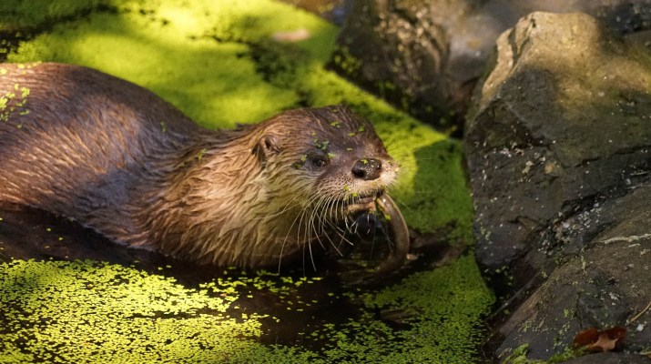 otter-2185508.jpg - © Pixabay All Rights Reserved