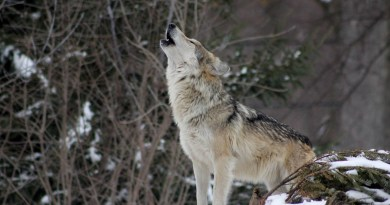 wolf-1992716.jpg - © Pixabay All Rights Reserved