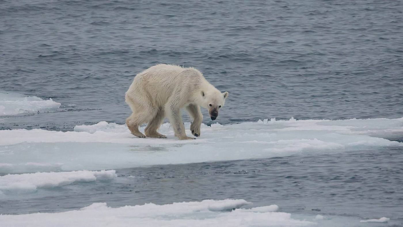 1280px-Endangered_arctic_-_starving_polar_bear; Von Andreas Weith - Eigenes Werk, CC BY-SA 4.0, httpscommons.wikimedia.orgwindex.phpcurid=52745369.jpg © FLickr 2019 - All rights reserved