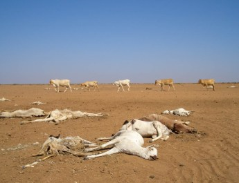 Dead and dying animals at the Dambas, Arbajahan, Kenya, which has dried up due to successive years of very little rain. Africa's climates have always been erratic but there is evidence that global warming is increaseing droughts,floods and climate uncertainty and unpredictability.