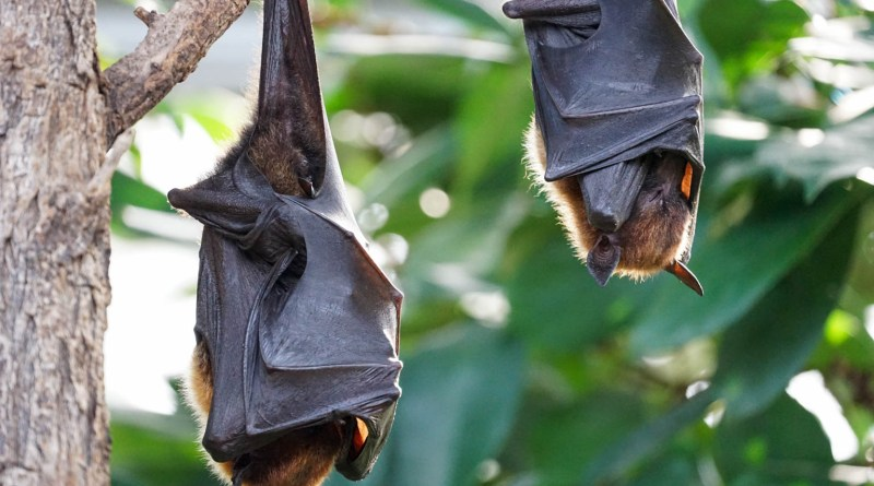 flying-foxes-2237209.jpg - © CC BY-NC-ND 4.0