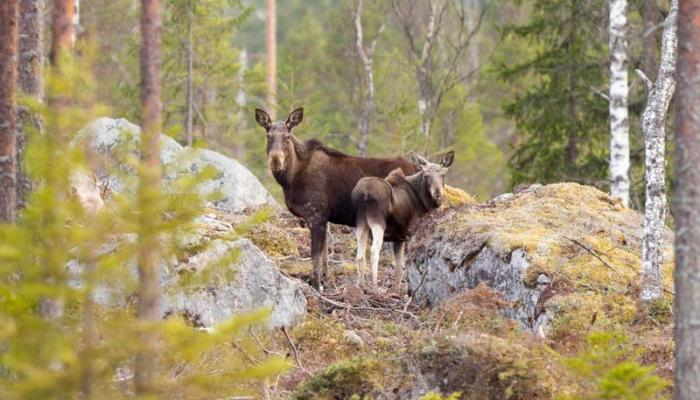Moose mother and her calf