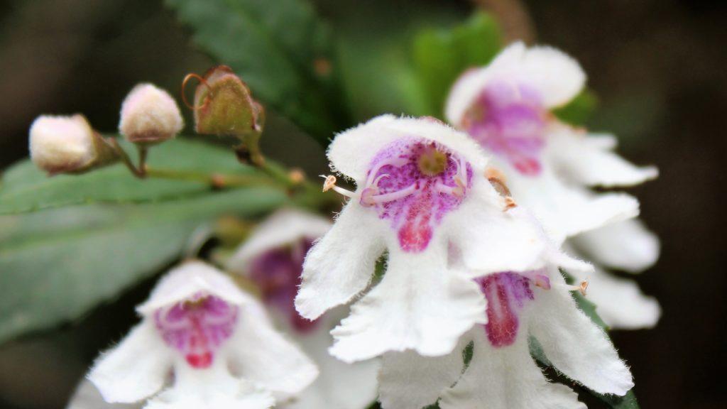 Rhododendron flowers, Strahan, Tasmania, Australia