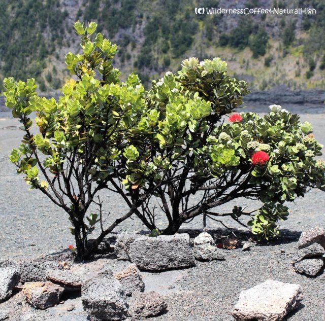 Pua Lehua, Kilauea Iki, Big Island, Hawaii