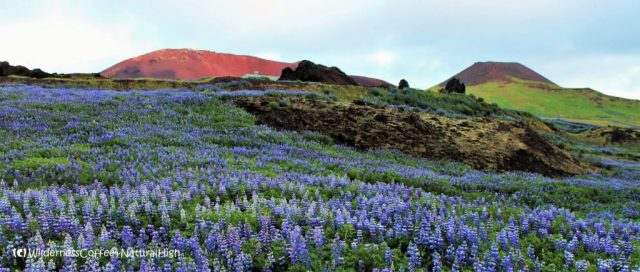 Fields of lupines and view to Eldfell and Helgafell volcanoes, Heimaey, Vestmannaeyjar, Iceland