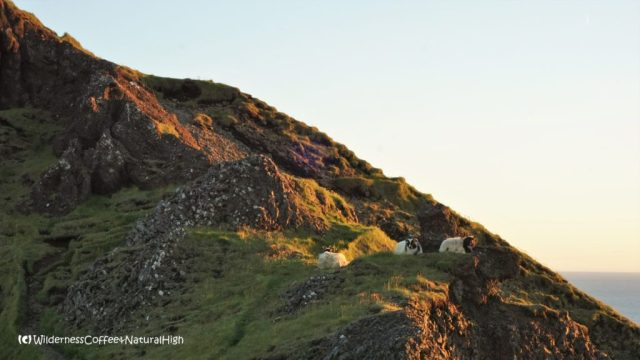 Sheep on the Herjólfsdalur path, Heimaey, Vestmannaeyjar, Iceland