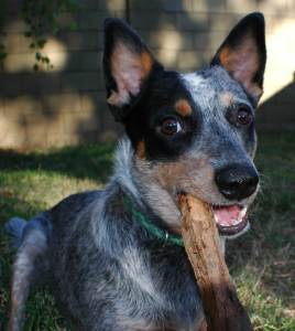 Young Cattle Dog and her stick