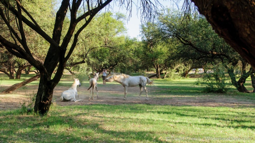 Wild Horses at Saguaro lake