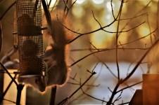 red-squirrel-lapland