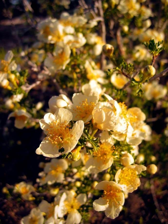 Antelope bitterbrush in bloom