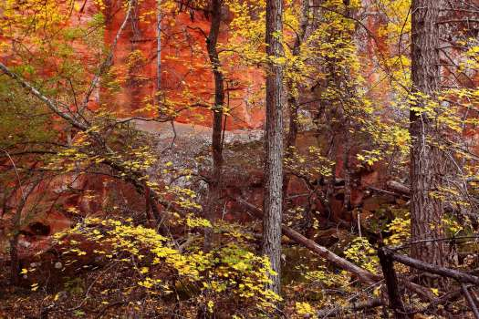 Yellow maple leaves sing in chromatic harmony with pink sandstone cliffs.