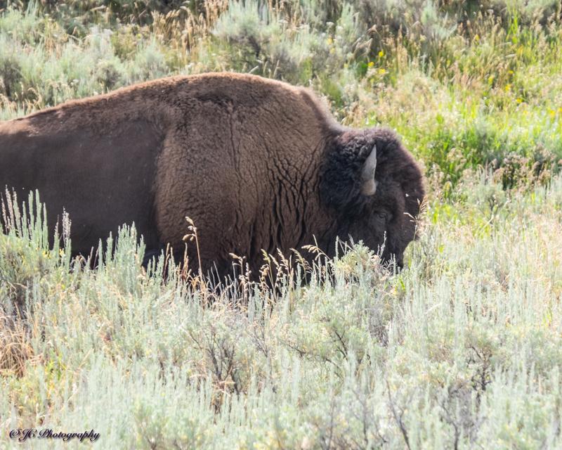 bison-5858