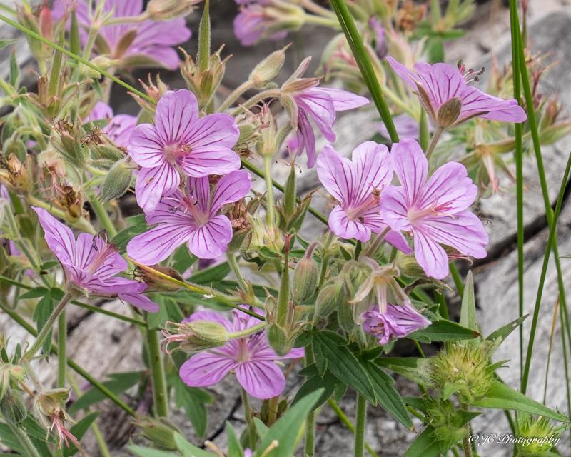 sticky geranium-5946