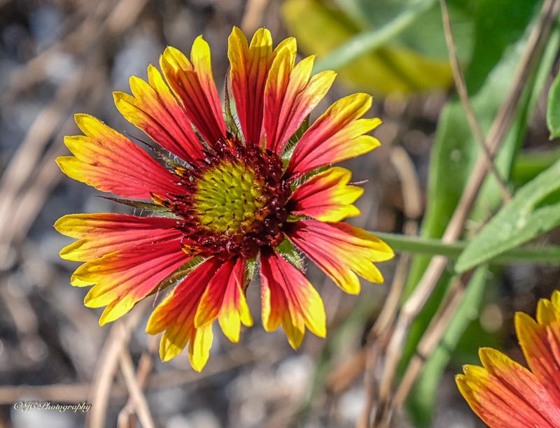 blanket flower-4510-