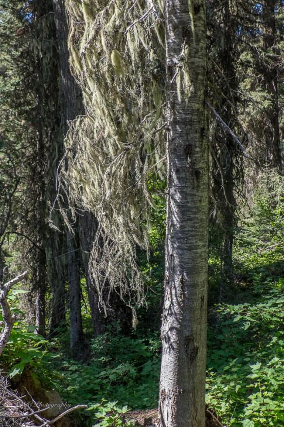 -subalpine fir-lichen-3504