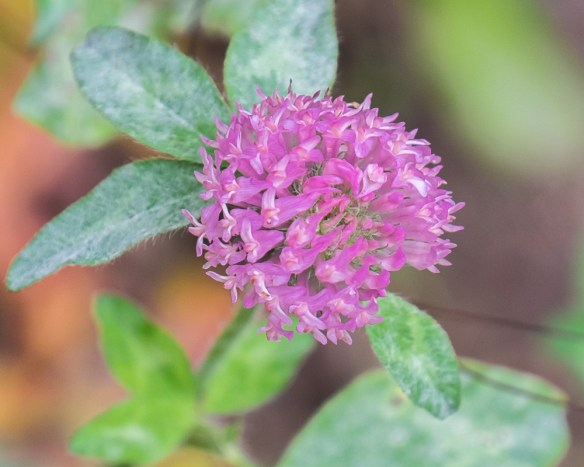 red-clover-5563