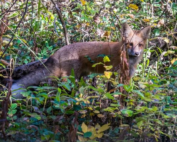 fox-red-5491