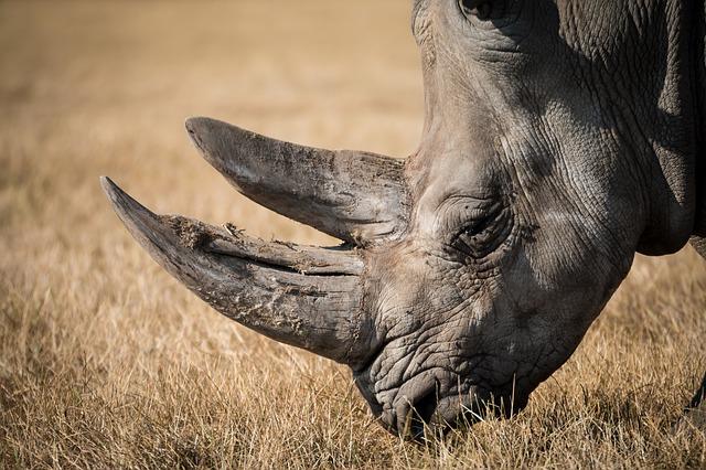 rhinoceros-768714_640