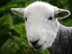 Herdwick Schaf/sheep