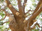 Schälchenbaum
