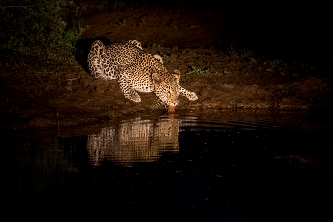 4 Day madikwe Photo Tour Leopard drinking at night
