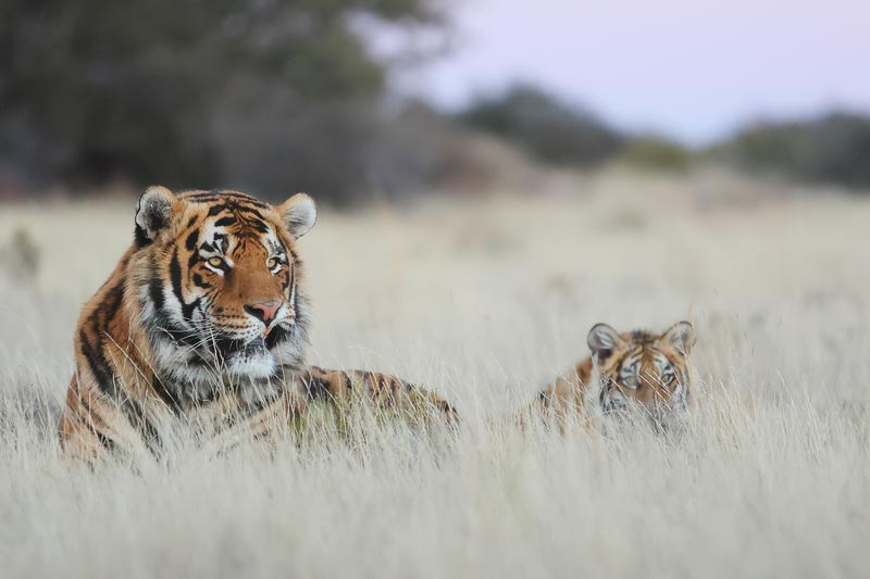 Tiger Canyon - Male Bengal Tiger and CUb