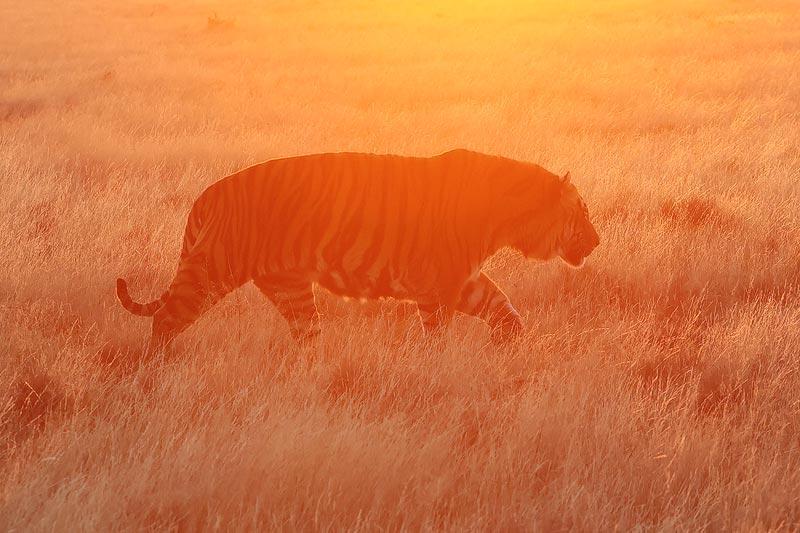 Tiger Canyon - Tiger at sunrise