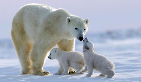 Сурет: жас полярлық аю