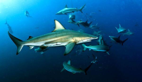 Акула мако 🦈 Фото и описание