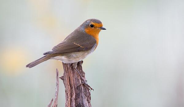 Распространена птица в западных районах северной африки, практически на. Зарянка 🌟 Фото, описание, ареал, питание, враги