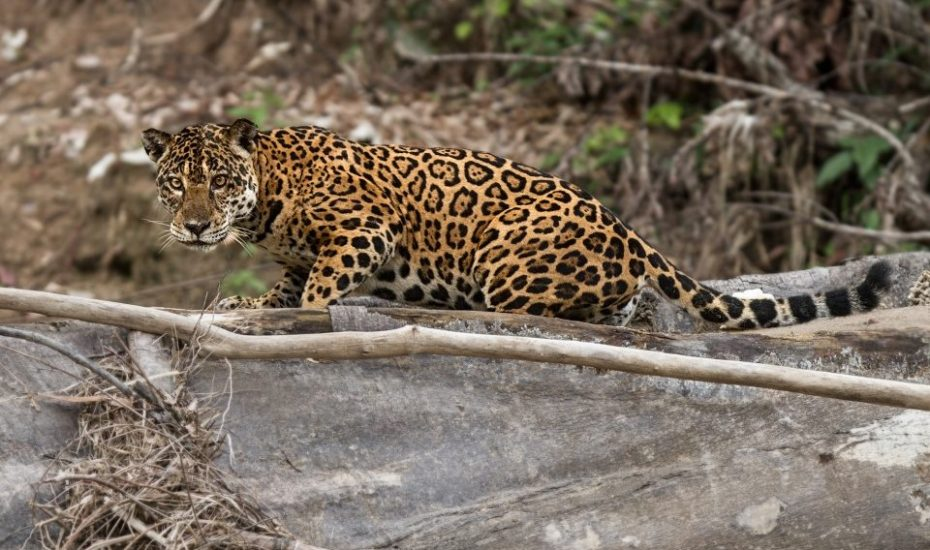 Jaguar in the Amazon by Tom Ambrose
