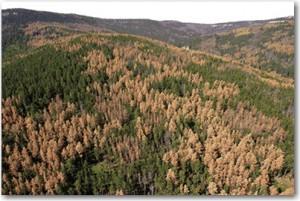 pine beetle damage