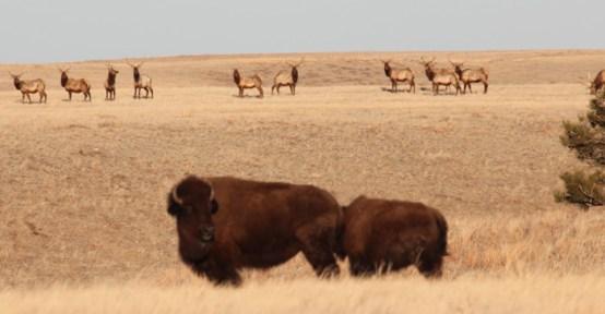 Elk and bison in Wind Cave National Park