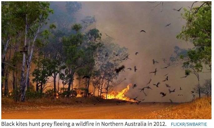 Black Kites fire prey