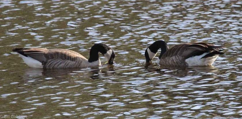 Geese at Bismarck Lake
