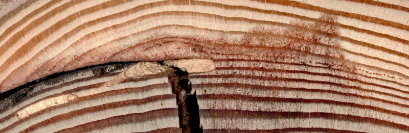 larch fire scar
